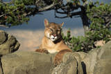 Cougar Resting on Rocks