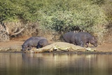 Crocodiles and Hippos  South Africa