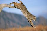 Bobcat Jumping from Branch