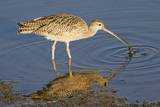 Long-Billed Curlew Catchs a Clam