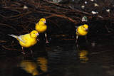 Canaries Standing by Water