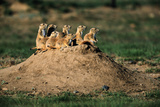 Prairie Dogs at their Burrow