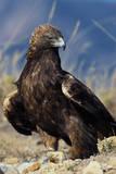 Golden Eagle Clutching Rabbit Kill
