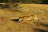 Cougar Chasing Prey through a Field