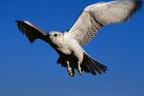 Gyrfalcon Landing