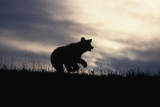 Silhouetted Grizzly Cub Running