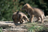 Coyote Pups Determining Dominance Rocky Mountain Foothills
