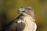 Close-Up of Ferruginous Hawk