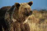 Grizzly Bear near Lake