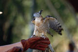 Pacific Baza Perched on Falconer's Hand