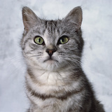 Alert Grey Tabby Cat