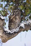 Barred Owl Perched on Branch