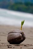 Sprouting Coconut Palm Tree on Beach Photo Poster Print