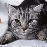 Grey Tabby Cat Lying Down
