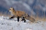Red Fox Running in Snowy Meadow