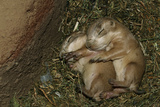 Sleeping Prairie Dog Pups