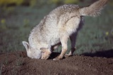 Coyote Digging in Prairie Dog Hole