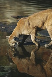 Cougar Drinking from the Kettle River