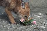 Coyote Pup Examining Evening Primrose