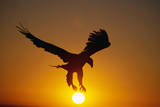 Bald Eagle Flying at Sunrise