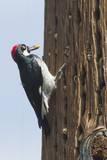 Acorn Woodpecker with Acorn in its Bill