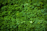 Green Kale Fresh Produce Photo Poster Print