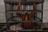 Juvenile Orangutan in Cage
