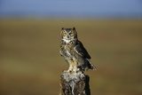 Great Horned Owl Perching on Post