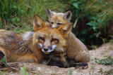 Mother Red Fox and Pups