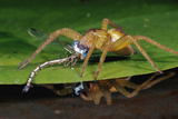 Six-Spotted Fishing Spider Eating Damselfly