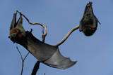 Grey Headed Flying Foxes on Branch