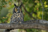 Long-Eared Owl Perched on Tree Branch