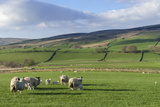 Sheep with Lambs in Fields Below the High Pennines  Eden Valley  Cumbria  England