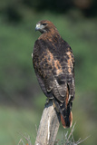 Red-Tailed Hawk Perches on Post