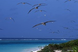 Laysan Albatrosses Flying