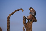 Kestrel Perched on a Mullein Plant