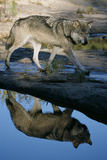 Grey Wolf and Reflection in Water