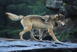 Gray Wolf in the Kettle River