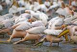 White Pelicans in Fishing Formation
