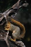 Fox Squirrel Feeding