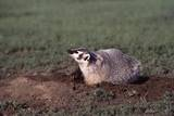 Badger Digging in Prairie Dog Hole