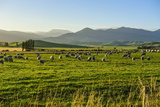 Sheep Grazing at Sunset  Queenstown  Otago  South Island  New Zealand  Pacific