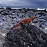 Marine Iguana on Coastal Rocks