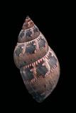 Phasianella Australis
