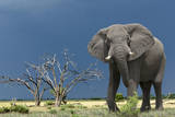 African Elephant  Okavango Delta  Botswana  Africa