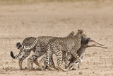 Cheetah (Acinonyx Jubatus) Dragging Baby Common Wildebeest Kill (Connochaetes Taurinus) to Cover