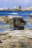 Fur Seal (Callorhinus Ursinus)  Kaikoura Peninsula  South Island  New Zealand  Pacific