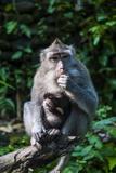 Crab-Eating Macaque (Macaca Fascicularis)  Monkey Forest  Ubud  Bali  Indonesia
