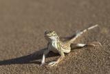 Shovel-Snouted Lizard (Meroles Anchietae)  Namib Desert  Namibia  Africa