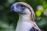 Philippine Eagle (Pithecophaga Jefferyi) (Monkey-Eating Eagle)  Davao  Mindanao  Philippines